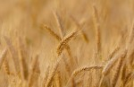 Ogłoszono stan suszy. Można składać wnioski o odszkodowanie