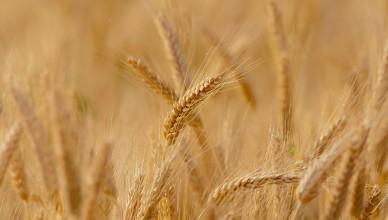 wheat-3241114_1920