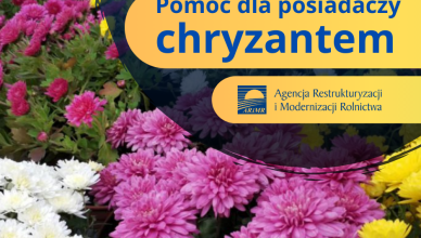 chruzantemy041120