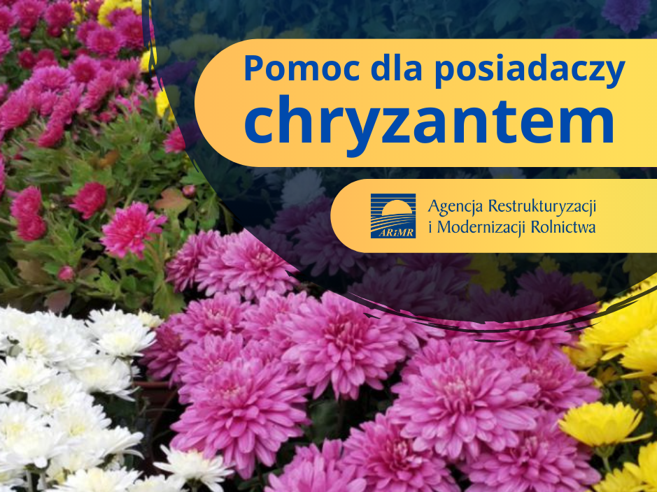chruzantemy041120